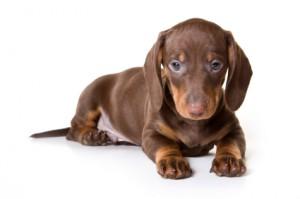 Teckel Hondenvoer
